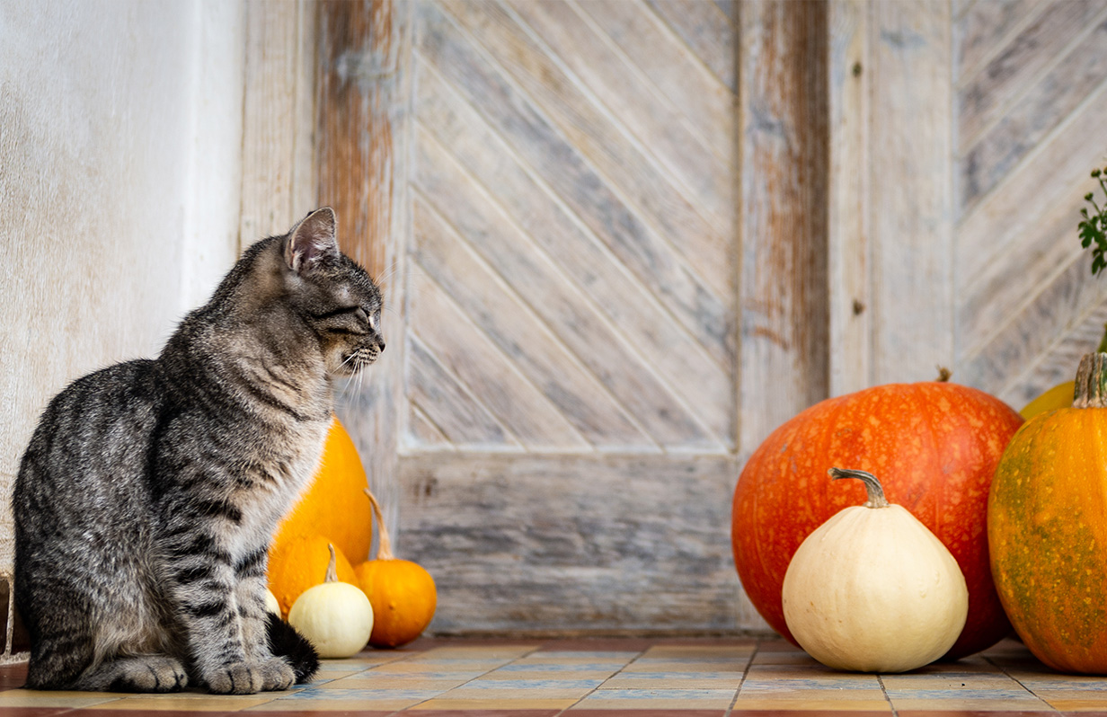 Is pumpkin good for your cat?
